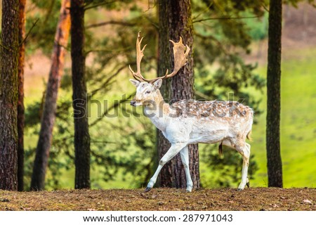 Young male fallow deer buck in forest. Animals beauty in nature. - stock photo