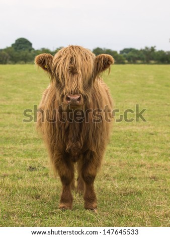 young male highland cattle - stock photo