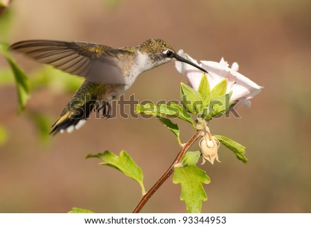 Young male Hummingbird feeding on a pink flower - stock photo
