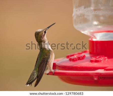 Young male Hummingbird sitting at the feeder, looking around alertly - stock photo