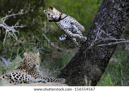 Young male leopard plays with dead mongoose while mother rests. - stock photo