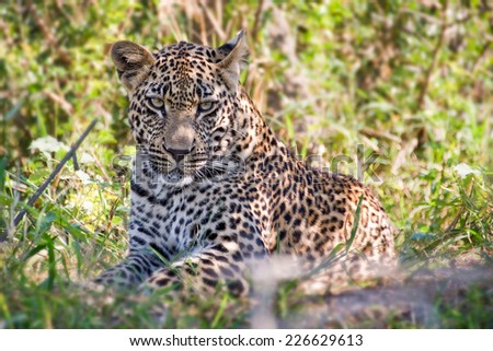 Young male leopard, South Africa - stock photo