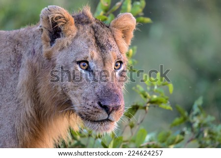 Young Male Lion in Kruger National Park  - stock photo