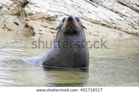 Young male New Zealand Fur Seal (Arctocephalus forsteri) near Kaikoura (New Zealand) - stock photo