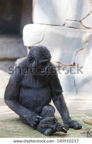Young male of a gorilla in the zoo open-air cage - stock photo