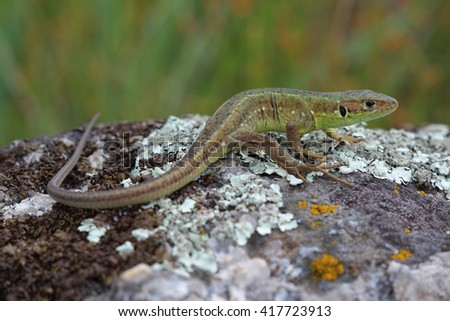 Young male of  European green lizard on stone - stock photo