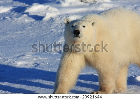 Young male polar bear walking in the arctic on snow - stock photo