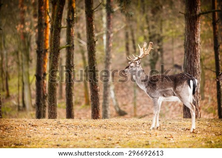 Young male red deer stag in autumn fall forest. Animals in natural habitat, beauty in nature. - stock photo