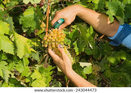 Young man, vine grower, about to cut a grape off the vine. - stock photo