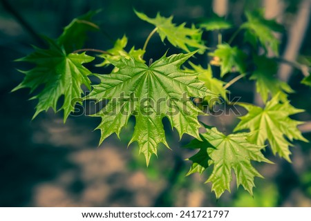 Young maple leaves in early spring - stock photo