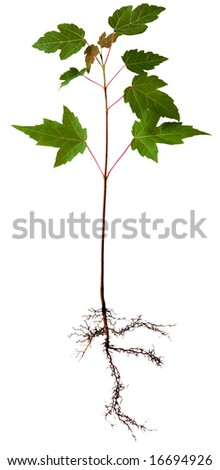Young maple tree with root, isolated on white - stock photo