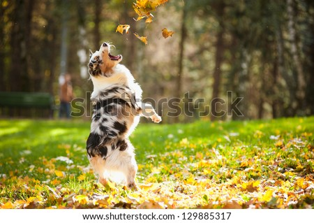 young merle Australian shepherd playing with leaves in autumn - stock photo