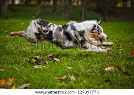 young merle Australian shepherd running in autumn - stock photo