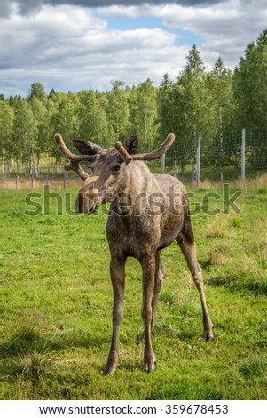 Young moose bull in the wild - stock photo