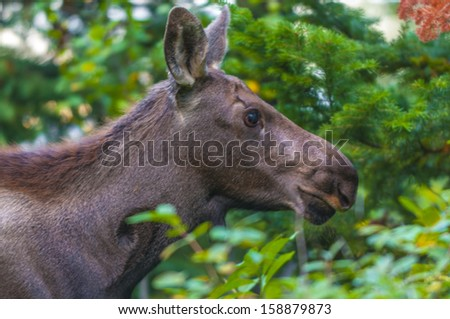 Young Moose grazing on tasty greens in Grand Tetons - stock photo