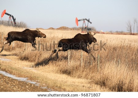 Young moose leaping over barbed wire fence - stock photo
