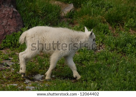 Young mountain goat kid in Glacier - stock photo