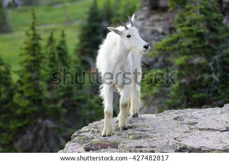 Young mountain goat on cliff in Glacier National Park - stock photo