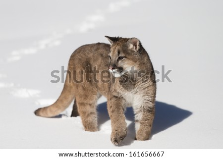 Young Mountain Lion in Snow - stock photo
