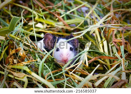 Young mouse sitting in the hay, close up - stock photo