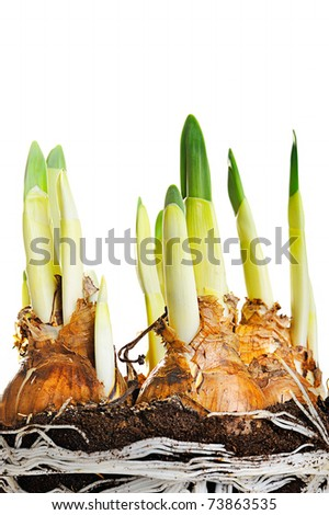 young narcissus growing - stock photo
