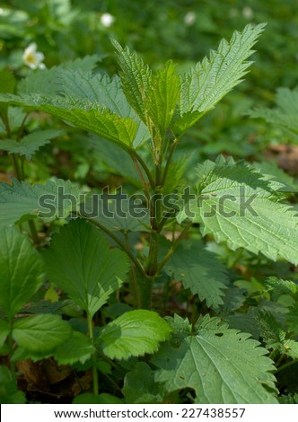 Young nettle in forest        - stock photo
