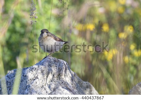 Young Northern Wheatear between stones  - stock photo