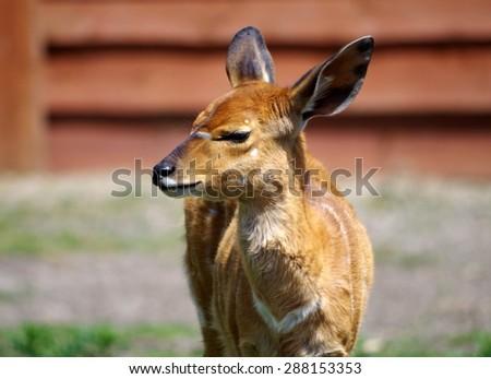 Young Nyala Antelope - stock photo
