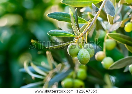 Young Olive On A Branch - stock photo
