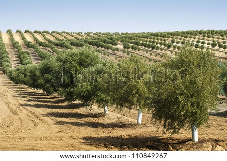 Young olive trees. Newly planted trees in the plantation - stock photo