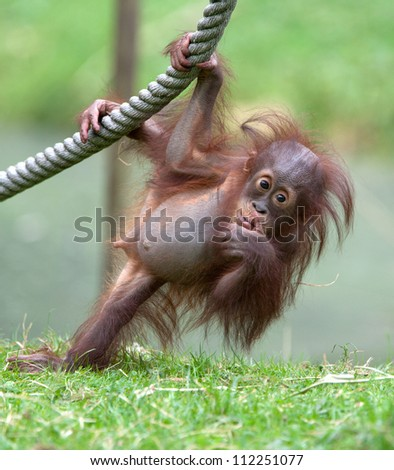 young orang utan - stock photo