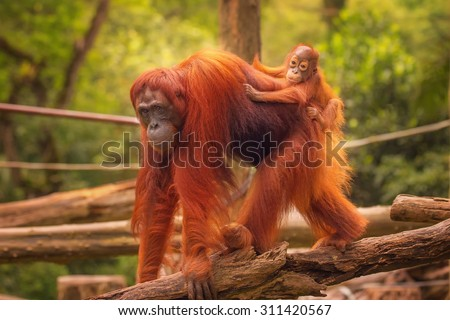 Young orangutan is sleeping on its mother. - stock photo
