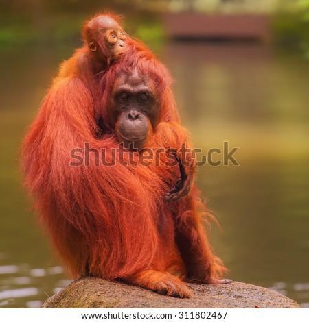 Young orangutan is sleeping on its mother. - stock photo
