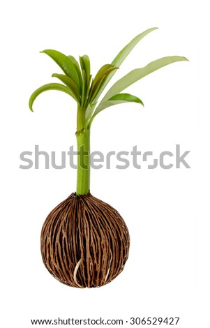 Young othalanga sprout seed growing isolated  - stock photo