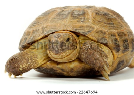 Young overland turtle on a white background. - stock photo