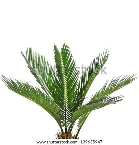 Young palm tree isolated on white background - stock photo