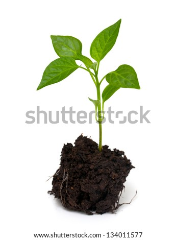 young paprika plant isolated on white background - stock photo