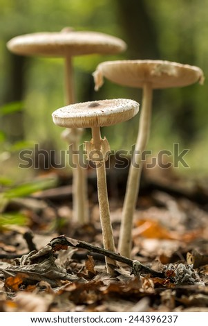 Young Parasol mushrooms in the morning sunlight - stock photo