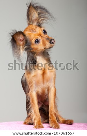 Young pedigree dog of Moscow long-haired toy terrier on pink pillow - stock photo