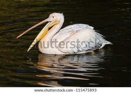 young pelican fishing in water - stock photo