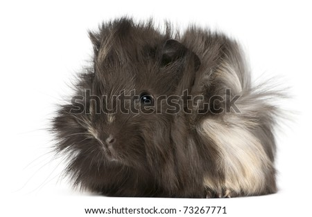 Young Peruvian guinea pig, 2 months old, in front of white background - stock photo