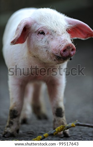 Young pig - stock photo