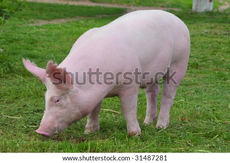 "young pig breeds ""Great White"" on the walk - stock photo"