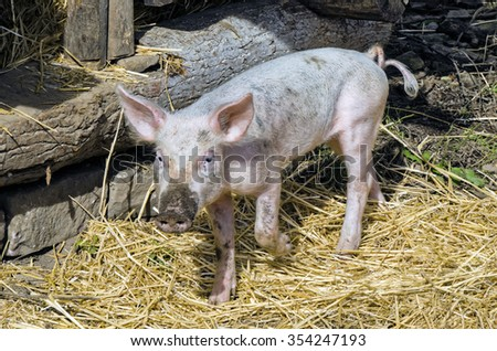 Young Pig in his Pen in Barnyard - stock photo