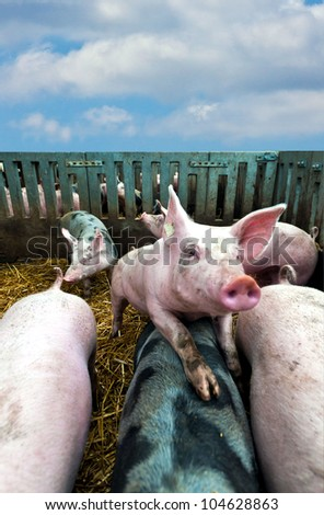 Young pig in stable on top of other pigs - stock photo