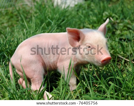 Young pig on a green grass - stock photo