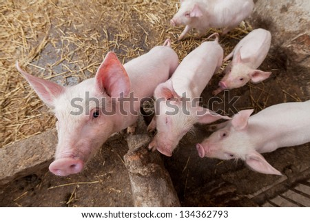 Young pigs on the farm - stock photo