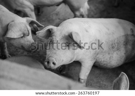 Young pigs on the farm, School of pig,black and white - stock photo