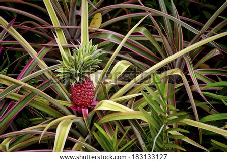 Young pineapple growing in the well tended soil at the Singapore Botanic Gardens. Image shows the fruit and leaves of a pineapple plant. - stock photo