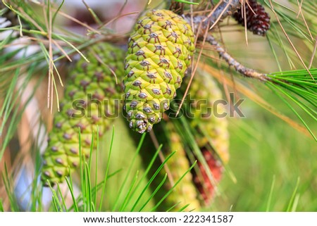 Young pinecone of mediterranean pine on tree - stock photo